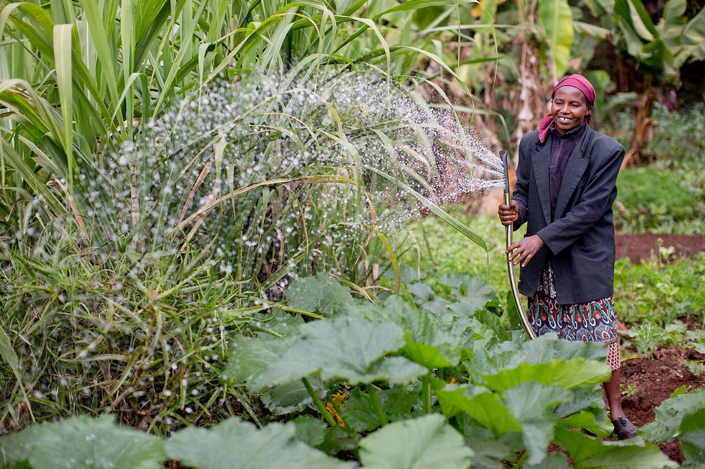 Kenyan farmer waters her crop
