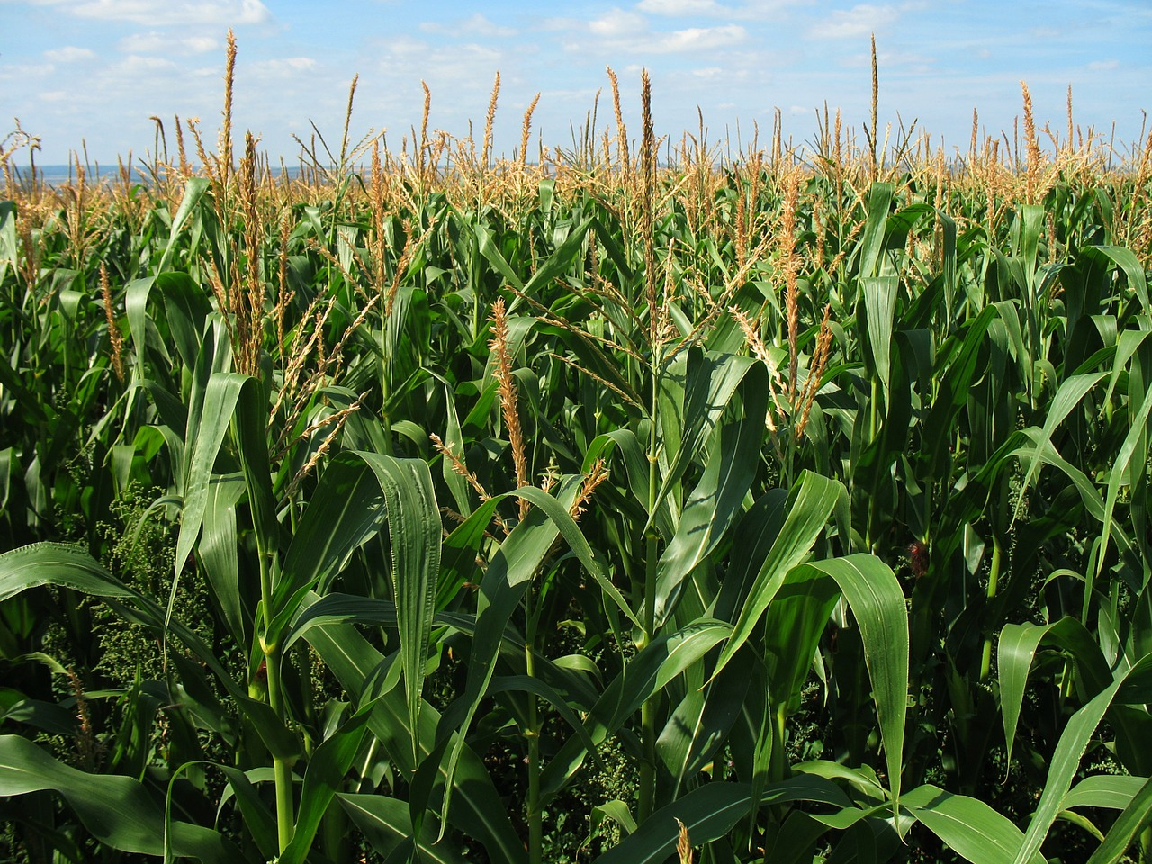 Generic maize field