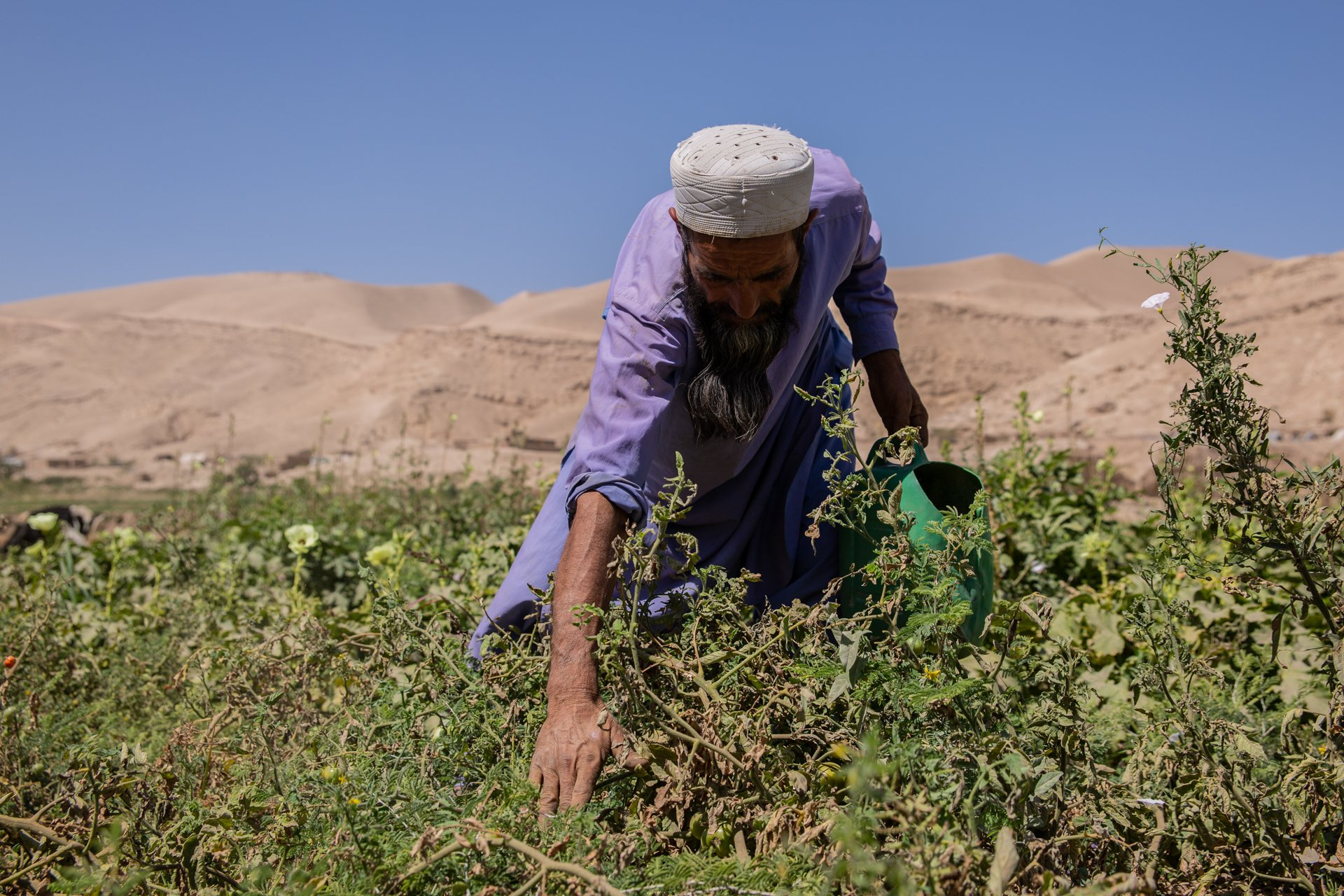 A man in Afghanistan picks from his vegetable plot