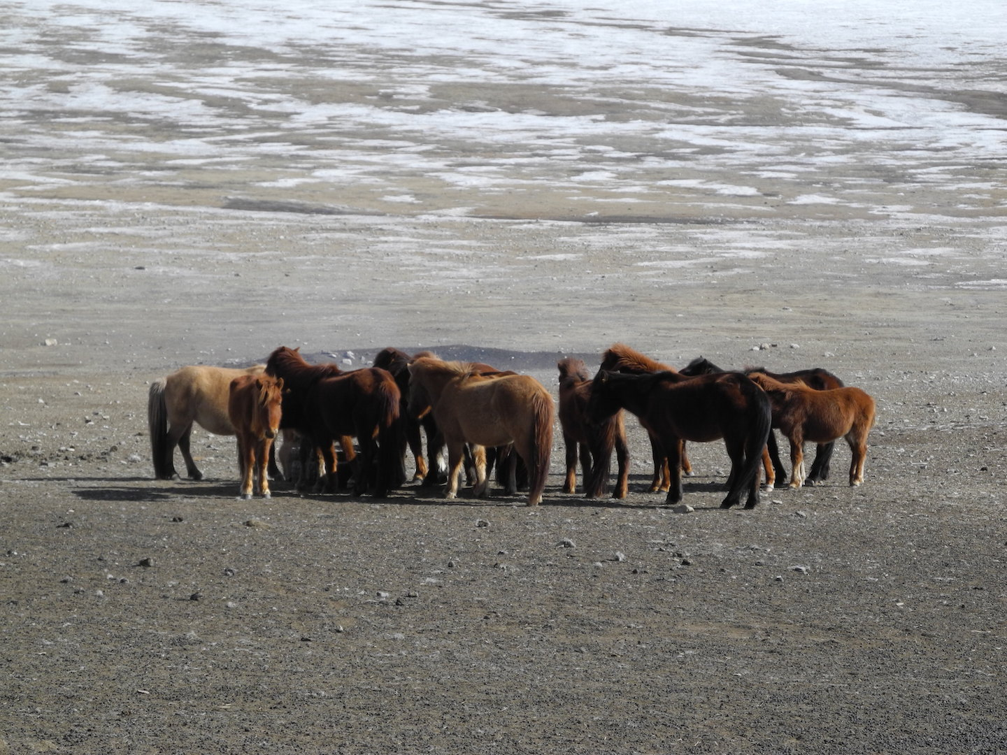 Horses try to graze in Mongolia