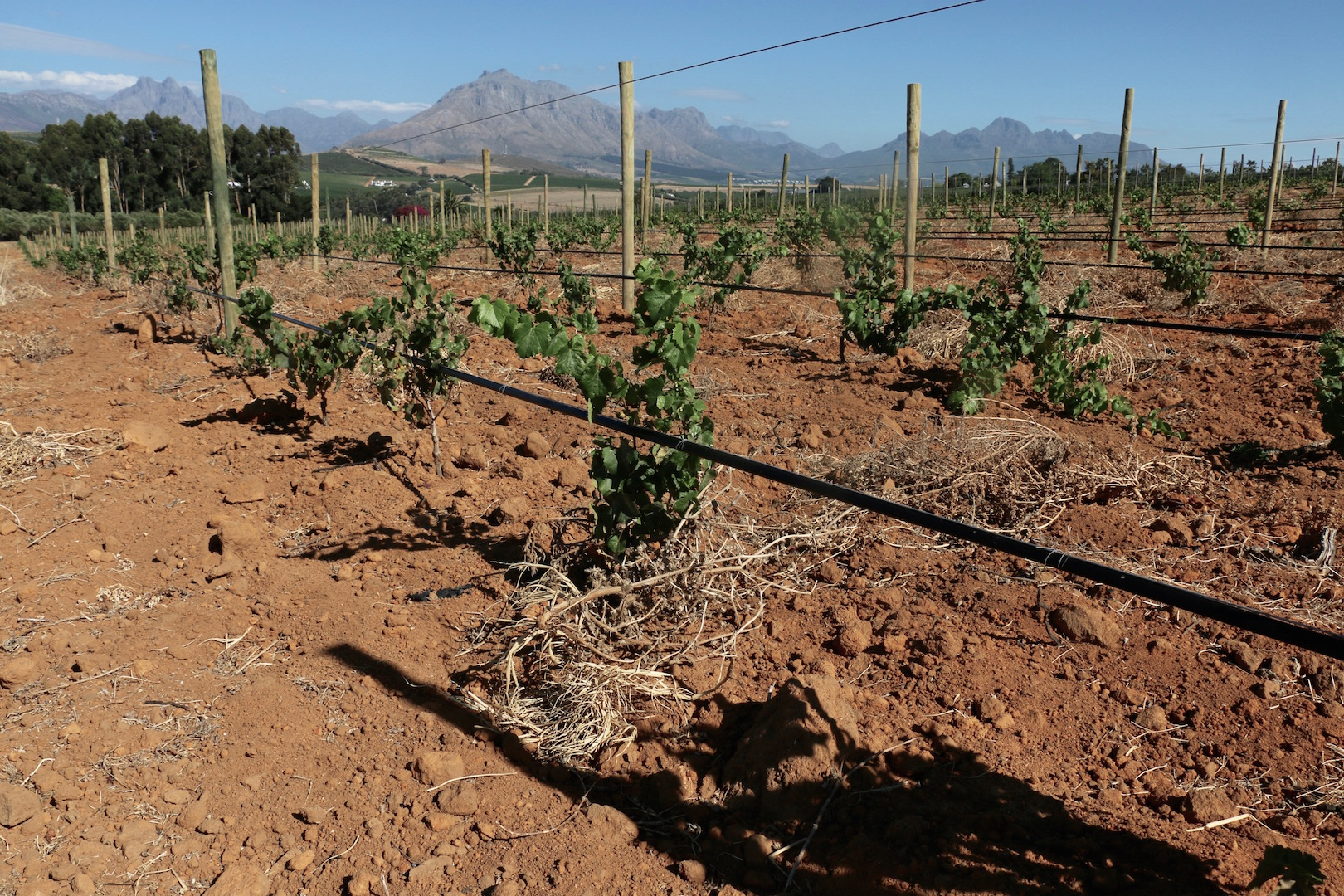 Fields of the Western Cape in South Africa are now brown and dusty, as farmers reduce their irrigation to preserve water.