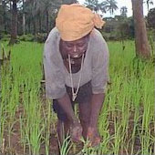 [Guinea-Bissau] Woman working in fields.