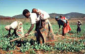 [Zimbabwe] Women weeding in Zimbabwe farms.