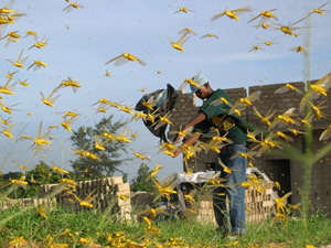 Un essaim de criquets matures jaunes.