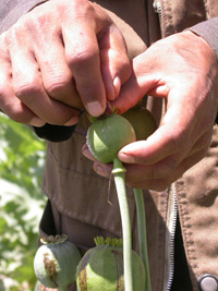 A farmer displaying poppy capsule, Afghanistan, 2 August 2004. Each poppy capsule can be lanced 6 or 7 times. Agfhanistan is the biggest producer of illicit heroin.