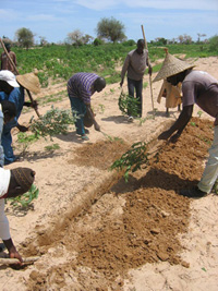 [Senegal] Farmers of the Mekhembar village swip at locust hoppers with cassava branches to bury them alive in holes dug in the field. Central Senegal, August 2004.