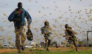 [Senegal] Senegalese children run as locusts spread in the capital Dakar August 2004