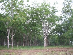 [Liberia] Firestone rubber plantation, the rubber tree plantation extends for one million acres 35km southeast of the capital Monrovia.