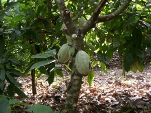 [Cote d'Ivoire] Young cocoa pods in the plantations of Cote d'Ivoire.