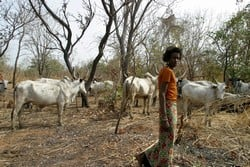 [Nigeria] Hausa Fulani herder leads cattle to graze on the farmland allocated to the Zimbabwe farmers in Shonga, central Nigeria.