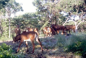 [Angola] One of the photographs of the Giant Sable antelope taken by the Catholic University's Centre for Scientific Studies and Investigation, using remote cameras.