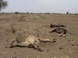 [Eritrea] Cattle killed by the prolonged drought in Gash Barka province.