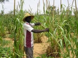 [Niger] Halilou Habou tends his crop of millet. Residents of the Niger village of Damana are full of joy and relief that after this year's food shortages, the new harvest looks big. [Picture taken: August 2005]