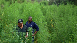 [Swaziland] Supt Albert Mkhatshwa, head of Swaziland's Anti-Drug Unit  (left) , stands with a colleague in the middle of a cannabis plantation the police discovered while on a search and destroy operation in the Hhohho region to the country's north. [Date