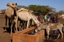 [Kenya] Herdsmen leave their families and cows in their villages and trek up to 100km through Kenya's arid north with their pack animals - donkeys and camels - to fill water containers to carry back for their weakened livestock. The drought is so severe t