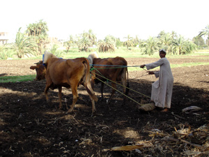 """Lumpy skin disease"" (LSD) has spread through much of the Nile Delta, 10 July 2006, causing sharp losses for livestock farmers and owners. Although more than 2.5 million heads of cattle have been vaccinated out of an estimated 3.5 million countrywide,"