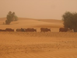 [Mauritania] Cows - big business in Mauritania. [Date picture taken: 07/13/2006]