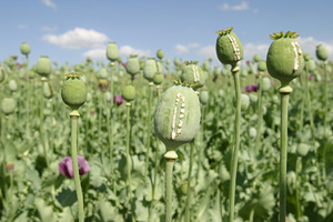 Opium field. Poppy seed capsules after being scratched; now they release the raw opium, Afghanistan