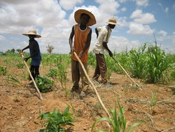 [Niger] Planting sorghum and millet gets underway near Tamtala village, southwest niger in rainy season. [Date picture taken: 08/23/2006]