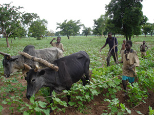 [Burkina Faso] Cotton farmers in Burkina Faso see their income dwindling even if their production increases. [Date picture taken: 08/05/2006]