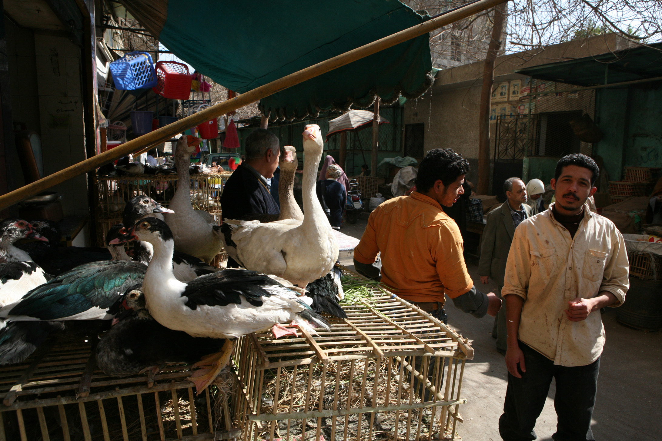 Poultry sellers in Seyede Zeinab market in old Cairo, Egypt, 26 February 2007. Avian influenza viruses occur naturally among birds but can be passed to humans through close contact with infected birds.