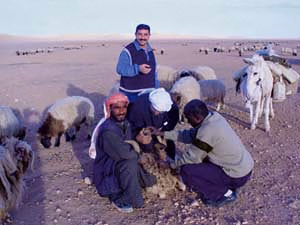 Blood collection from small ruminants