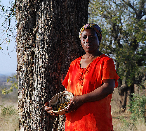 A villager in Mberengwa district in Zimbabwe picks wild fruits in the bush to take back home. Food shortages have resulted in people looking for alternative source of food.
