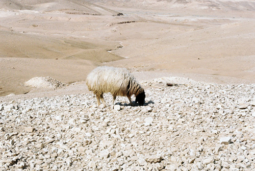 A sheep tries to find grass in what used to be grazing land, but now turned barren by this winter's drought.