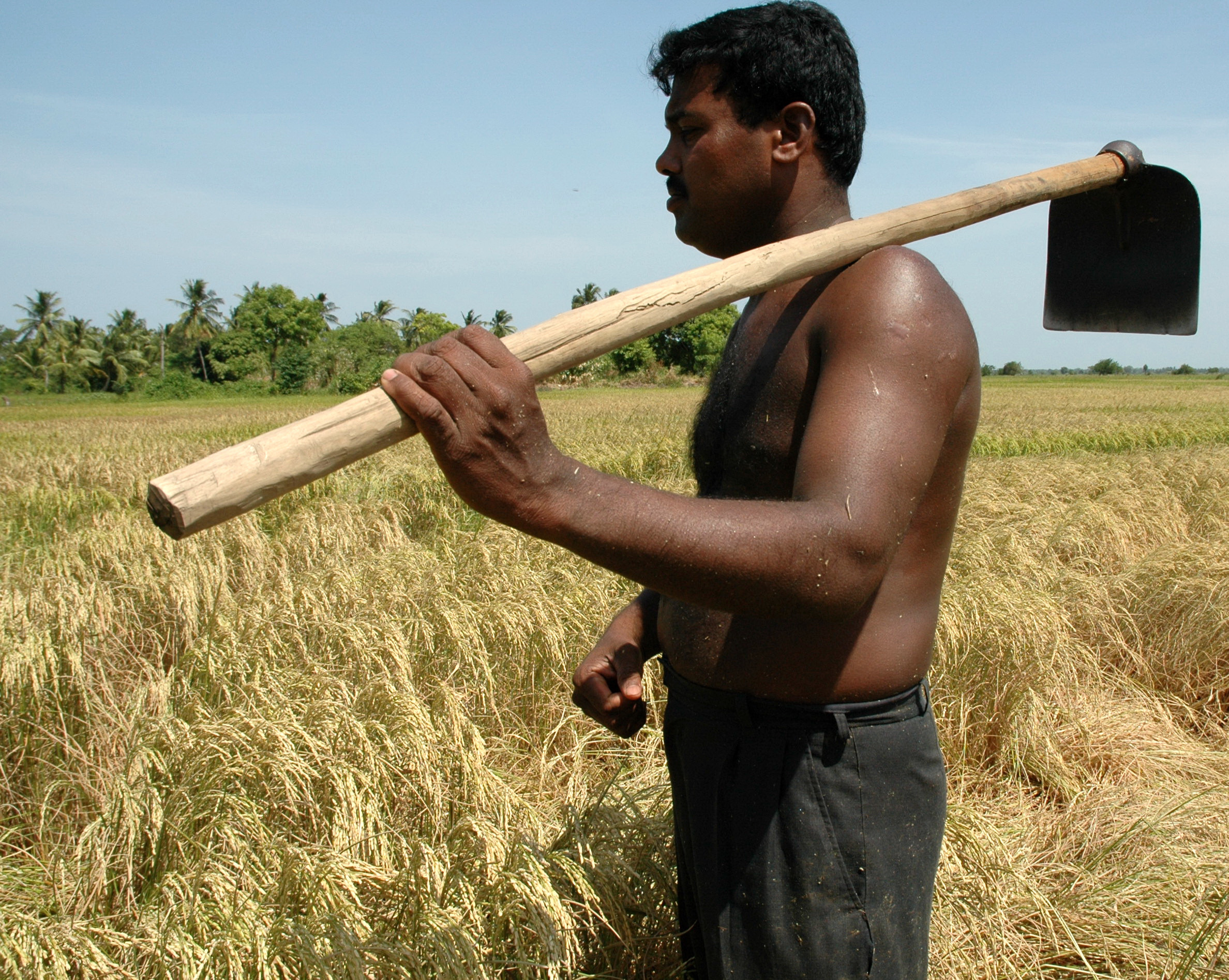 A Sri Lankan farmer stands near his paddy field in the eastern Trincomalee District