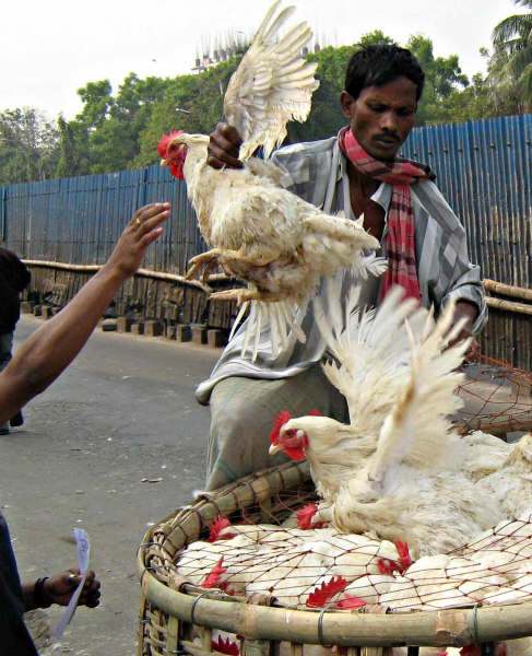 Sales of chickens have dwindled since bird flu was first detected in Bangladesh in March 2007. This seller is trying to convince a reluctant buyer that his birds do not have bird flu.
