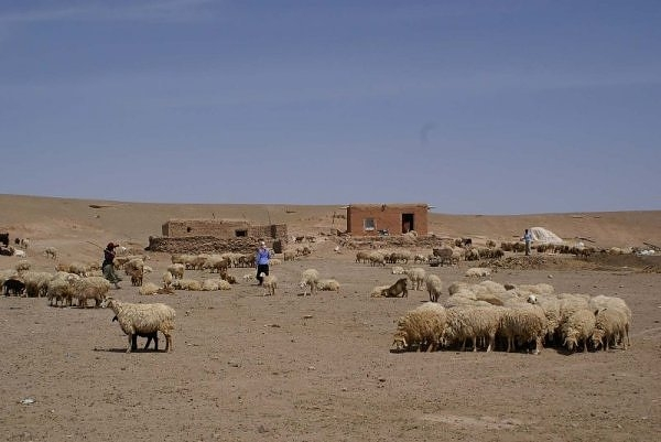 Livestock grazing in an arid desert in Balkh Province in July 2008. Livestock and rain-fed agriculture has been worst hit by the drought, the ministry of rural rehabilitation and development said.