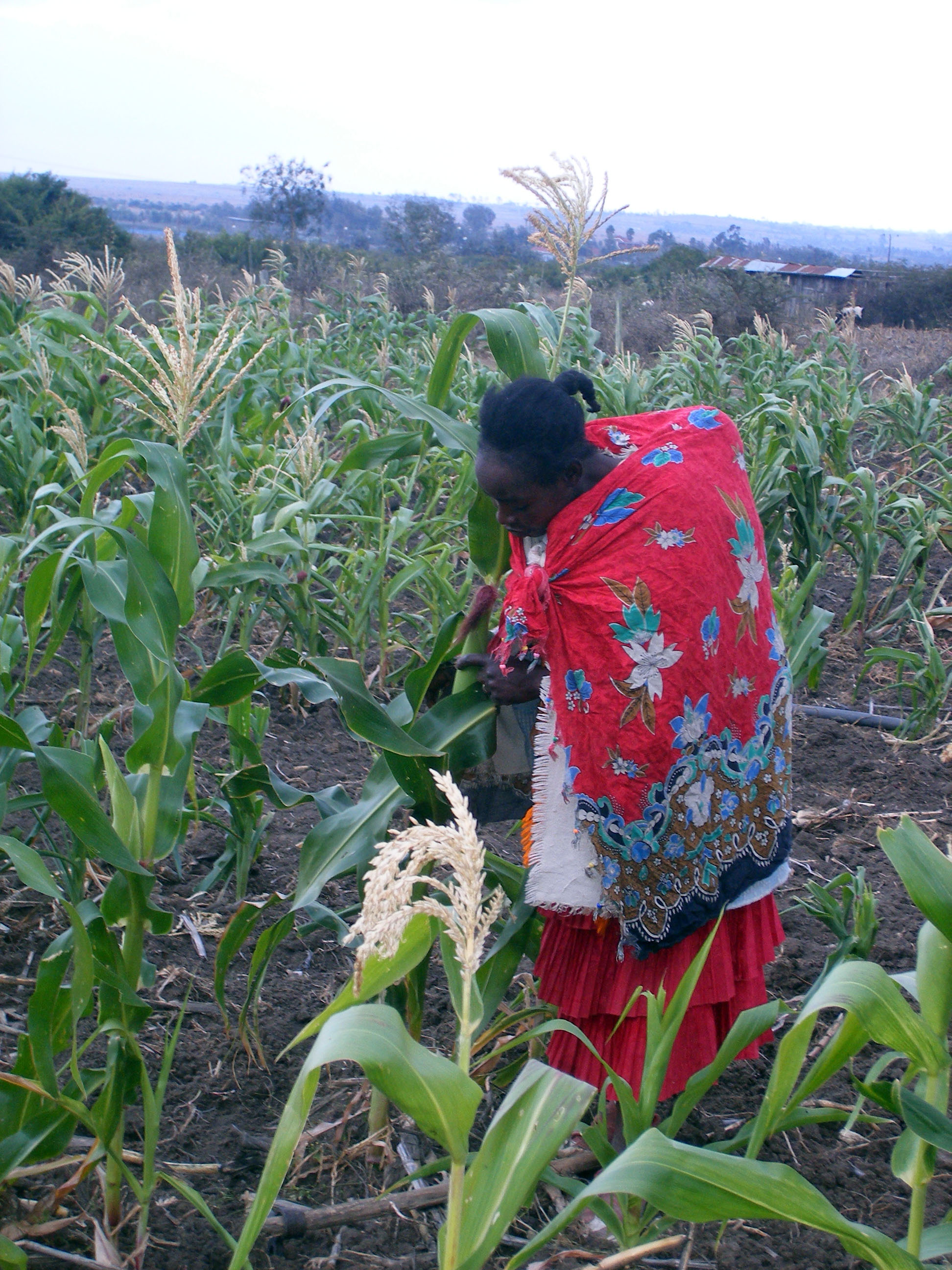 Ruth Wangechi examines her crop in Thung'ari village. The maize failed at the silking stage because of poor rains.