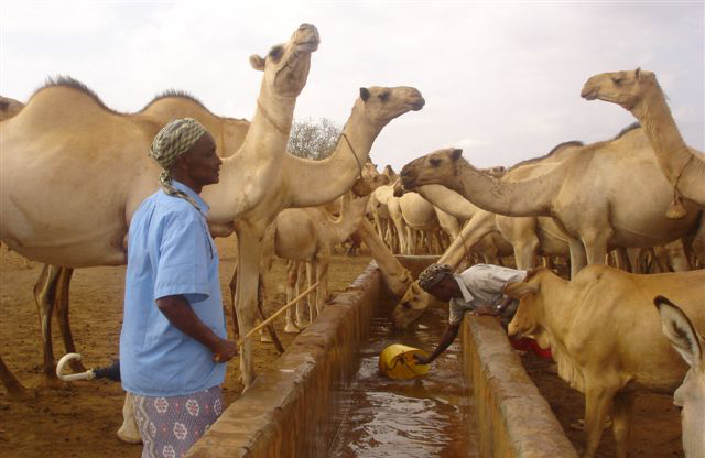 Pastoralists are being forced to travel further and futher to water their heads of livestock in Mandera, in the northeast.