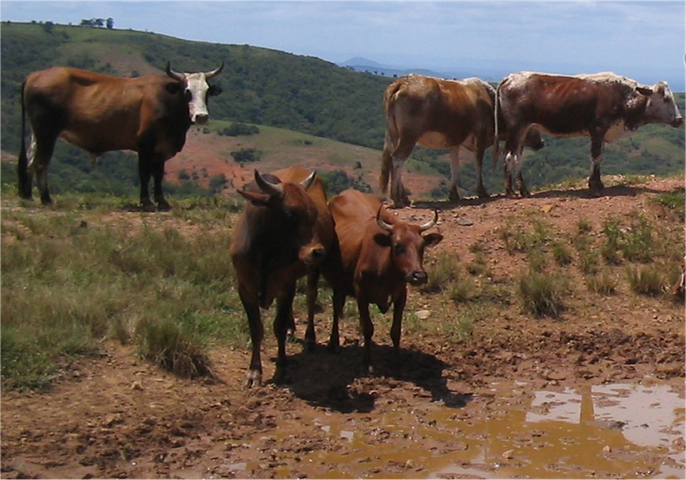 Cattle grazing in Swaziland.