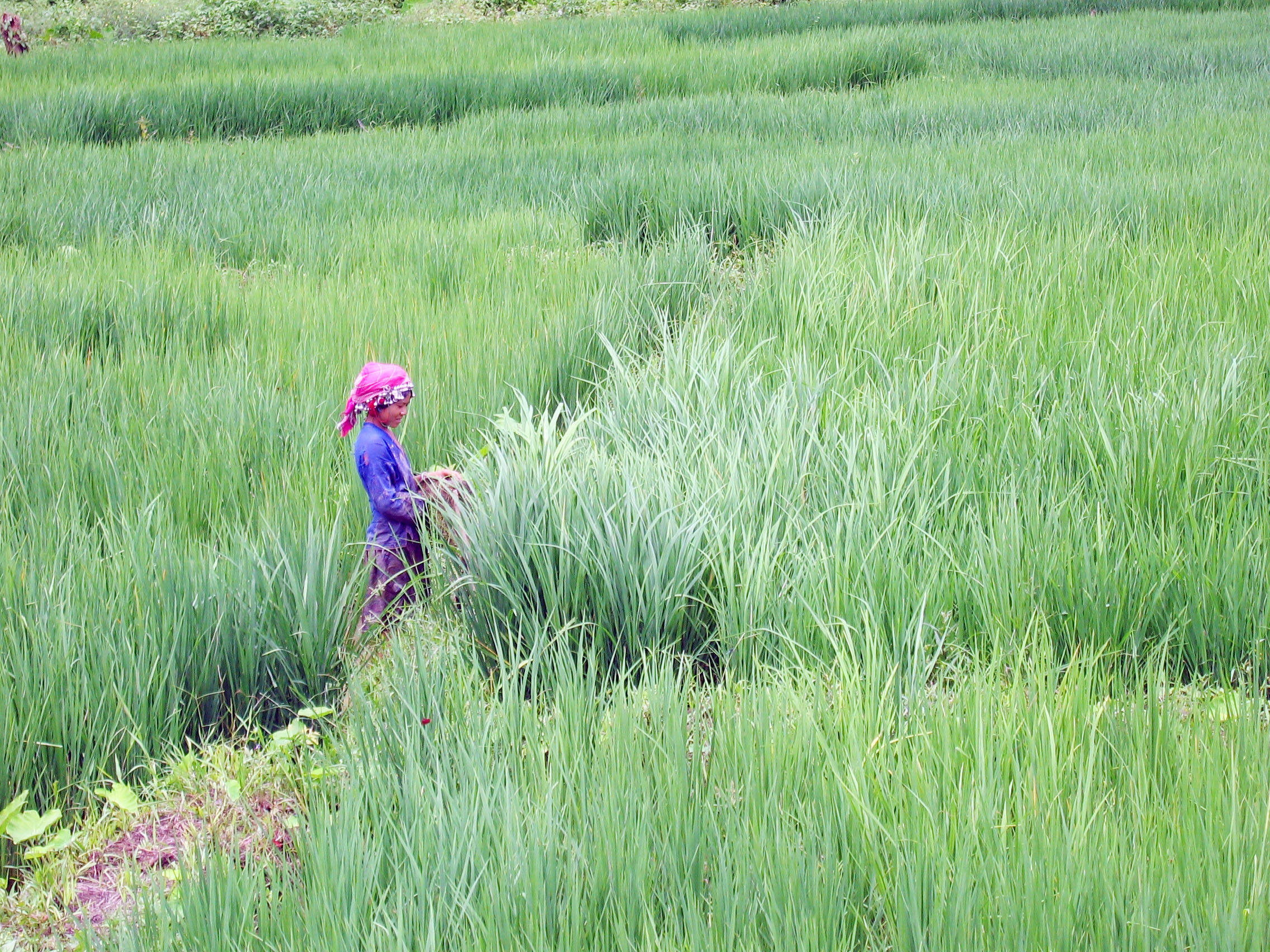 A woman tends to her rice crop in a wet land paddy. Villagers are being taught more effective agricultural techniques as part of a food security initiative. For many villagers, these skills are crucial to their survival as their traditional slash and burn
