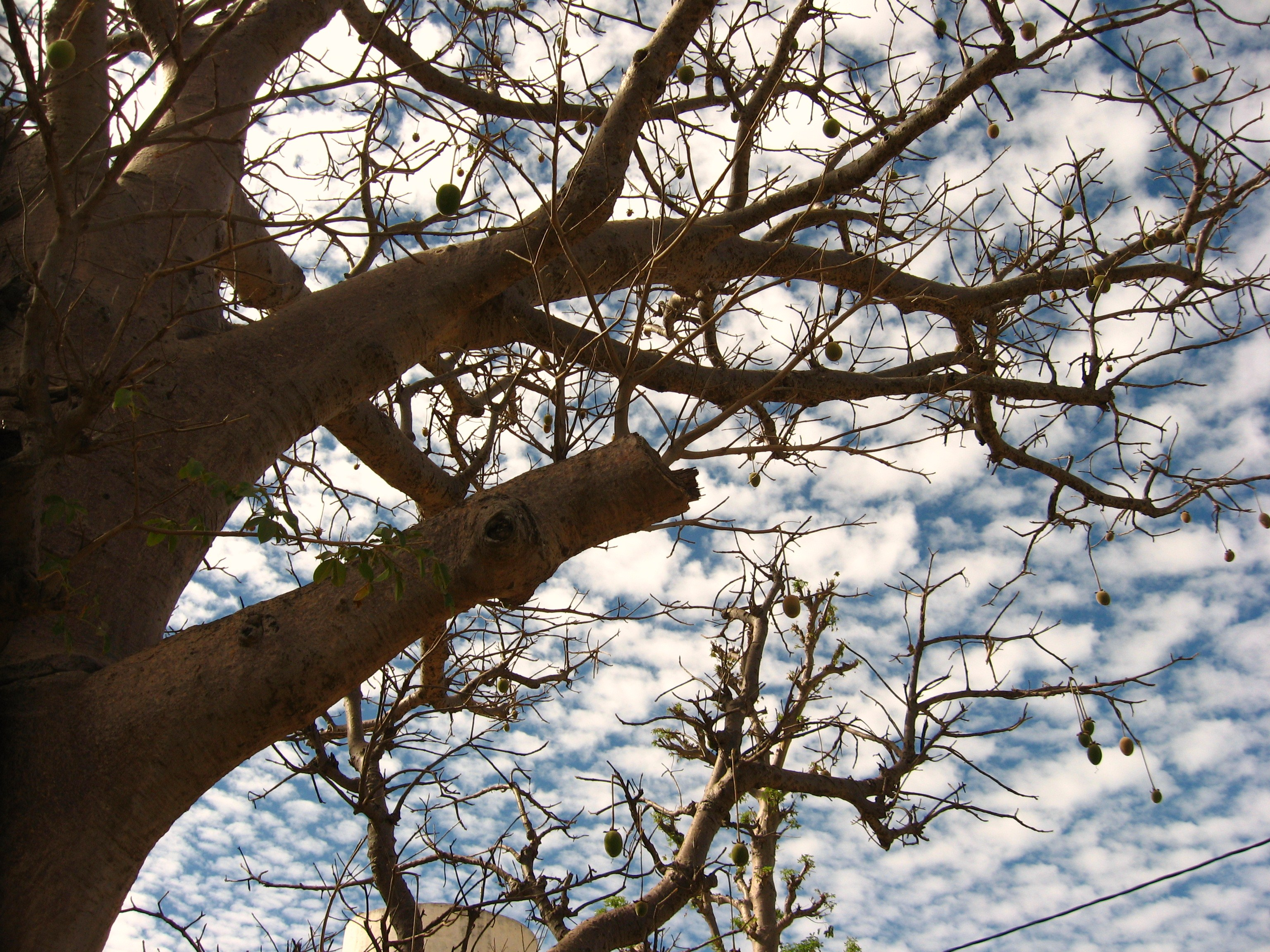 Senegalese farmers use certain trees to forecast the seasons. Traditionally the first leaves on the Baobab tree are a sign of rain, but with climate change such signals are becoming less reliable, Senegal 2008
