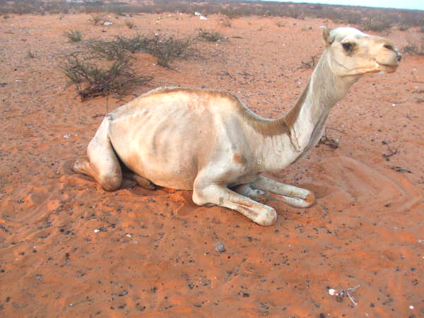 A camel shown here suffering the effects of the drought in south Mudug, central Somalia