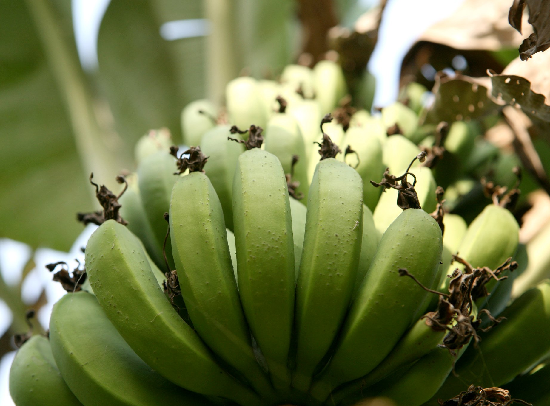 Mobile phone technology could be used to correctly diagnose and treat banana diseases