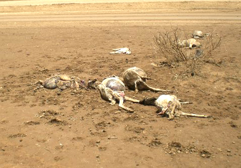 Low rainfall in Somaliland has led to poor pasture and weak livestock, in some cases livestock deaths