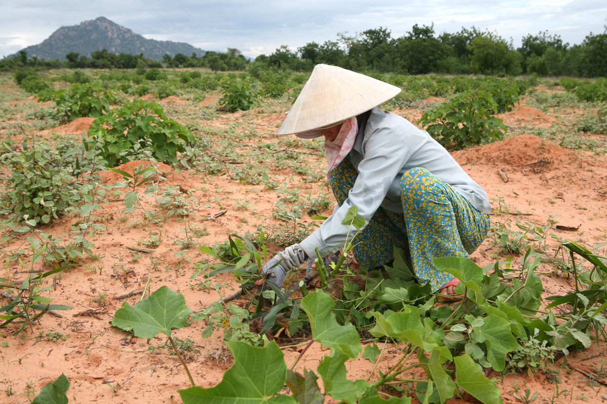A Vietnamese farmer tends her newly planted Jatropha crop in Nha Trang. Jatropha is a plant that can grow in extremely arid conditions and which produces a seed that when crushed creates a bio-diesel that can be used to fuel diesel engines
