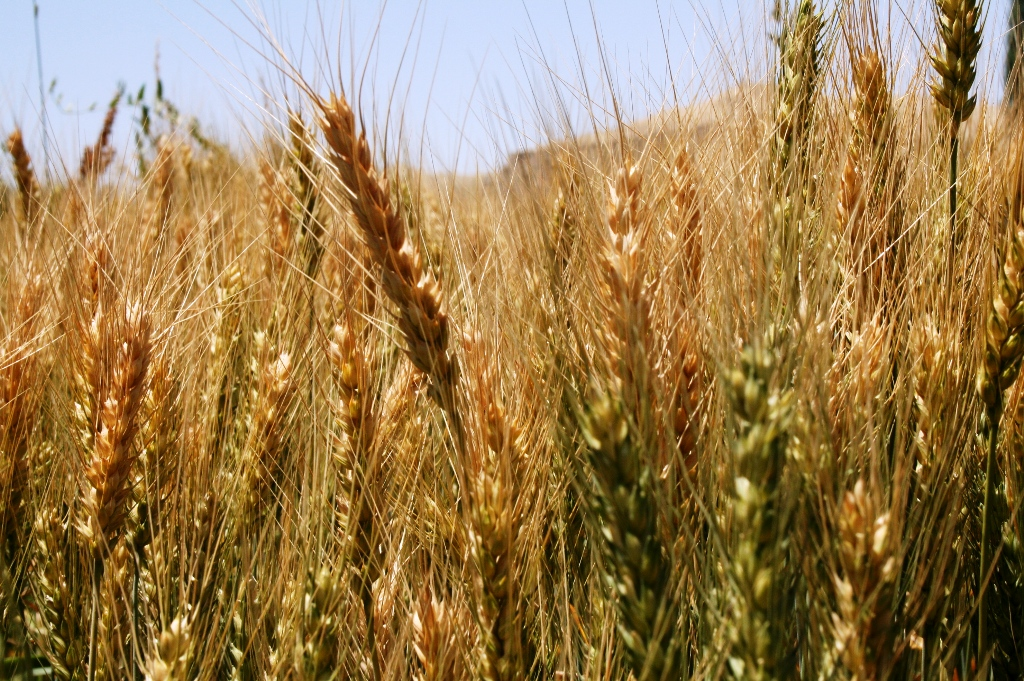Afghanistan expects over four million tones of wheat harvest in 2009