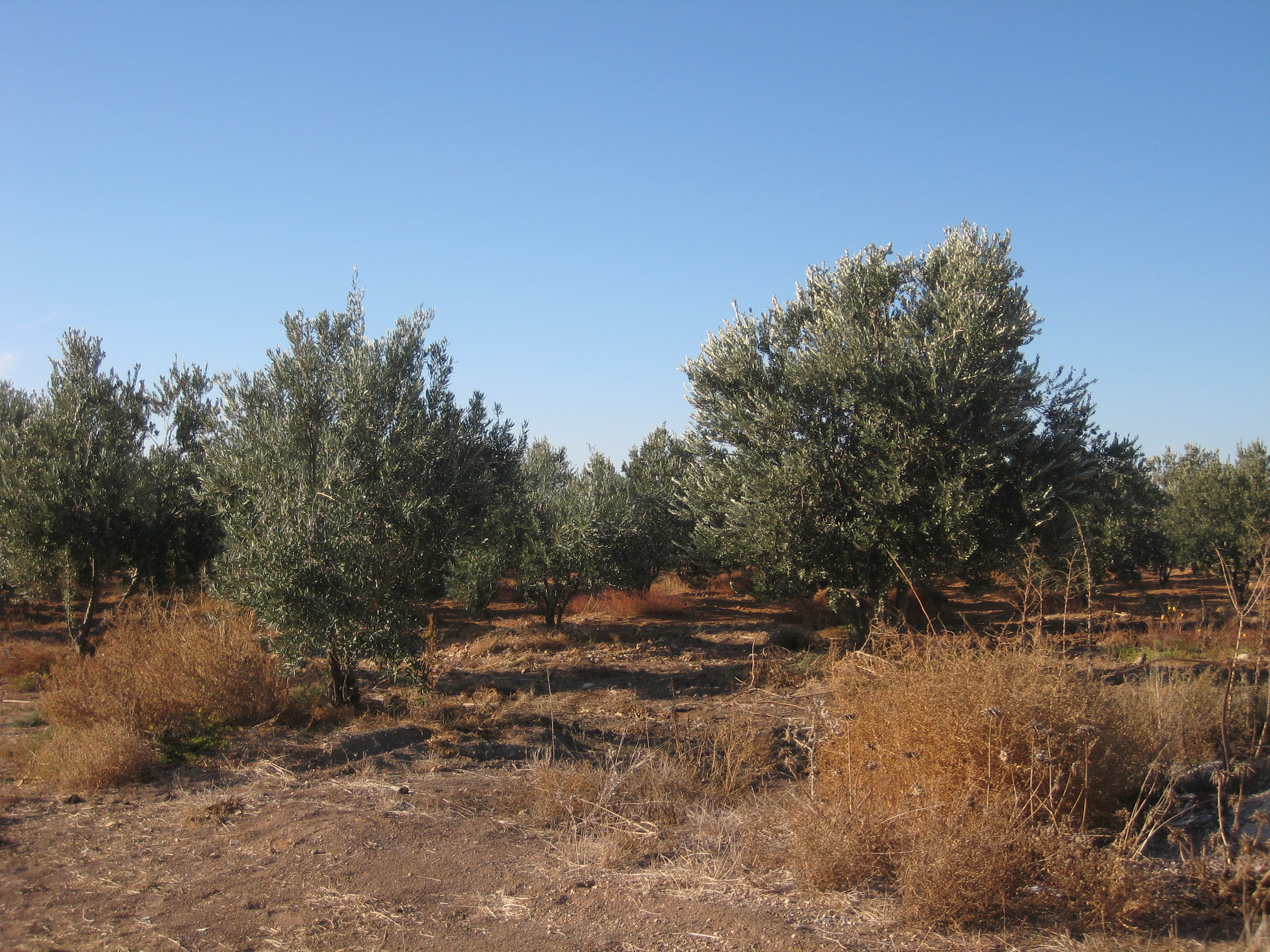 Olive trees in Dara'a