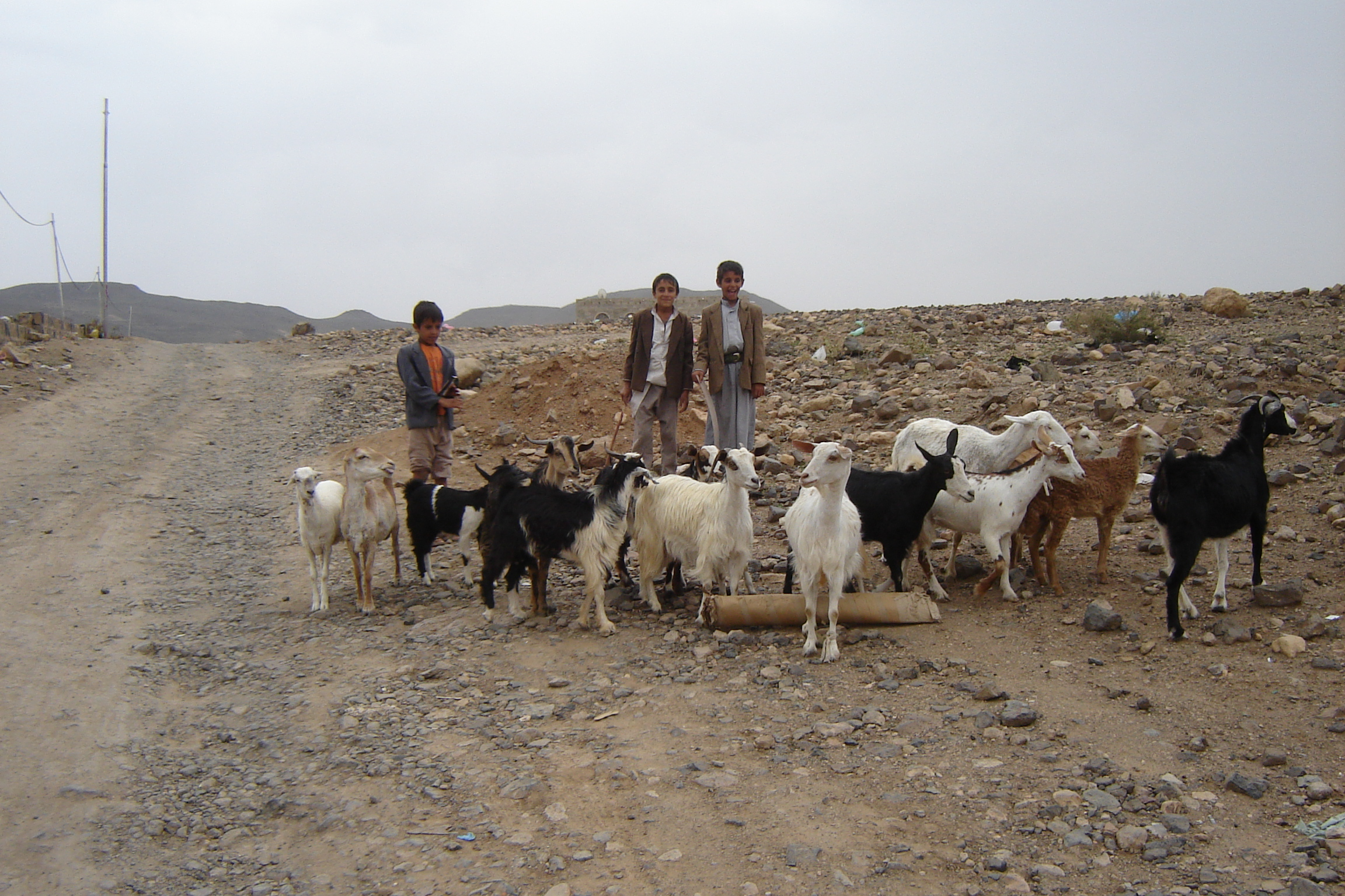 Children driving with their goats through a parched area in search of pasture