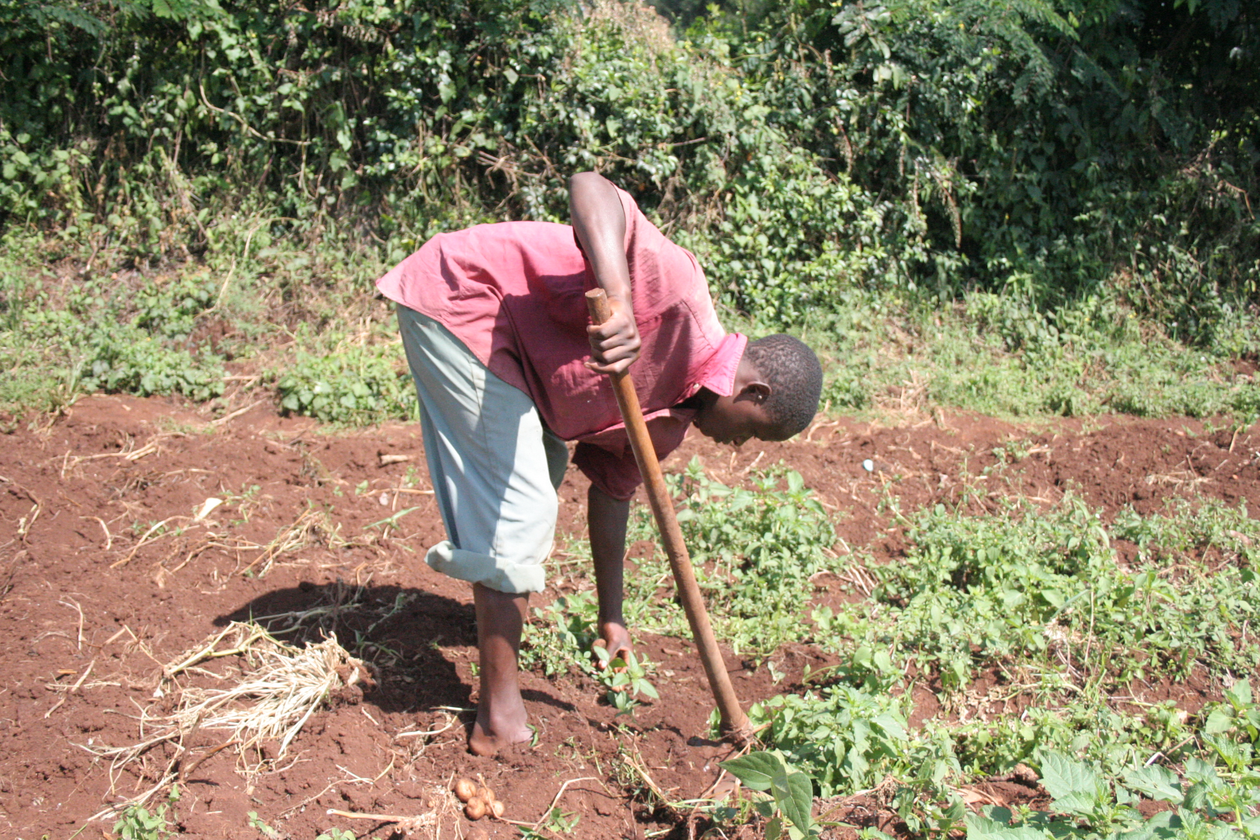 A farmer tends to his potato crop in Bureti District in Rift Valley Province