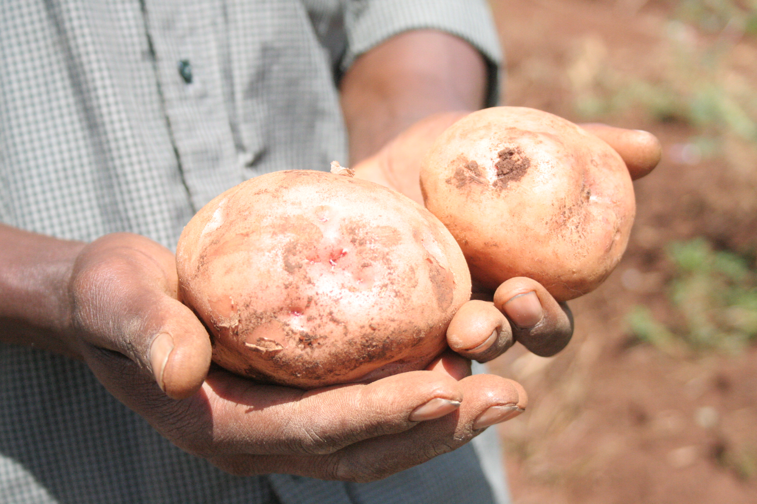 A farmer holds potatoes dug from his farm in Bureti District, Rift Valley Province