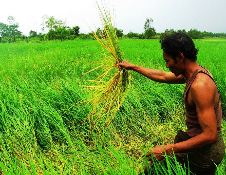Farmer Hla Shwe showing paddy plants destroyed by rats in a field in the Ayeyarwady Delta