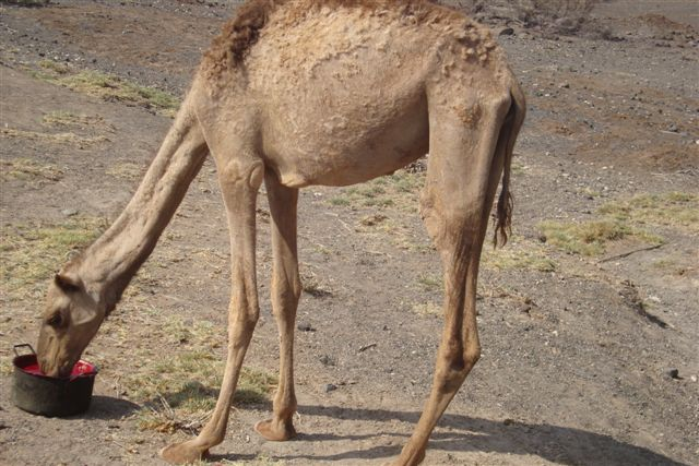 A young camel drinks goat blood at a livestock off-take programme centre in Marsabit, Eastern Province. This was among coping mechanisms adopted by the livestock to cope with a biting period of drought