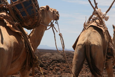Camels trek in the Chalbi desert region in northern Kenya in search of water