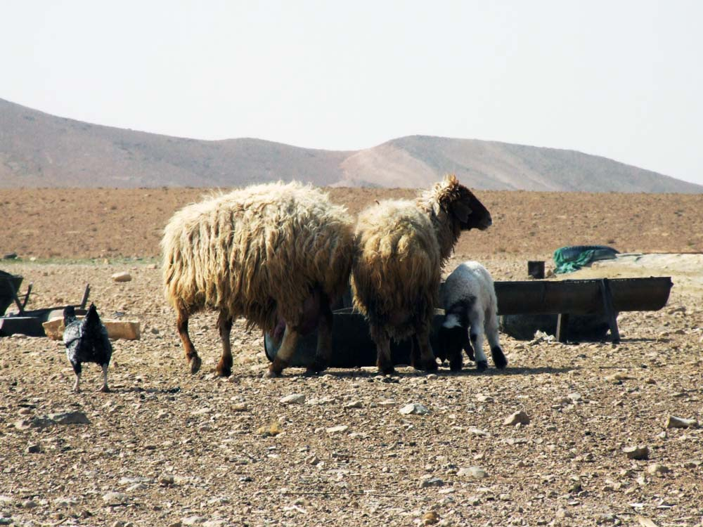 Livestock numbers have been dramatically reduced by the drought in Syria