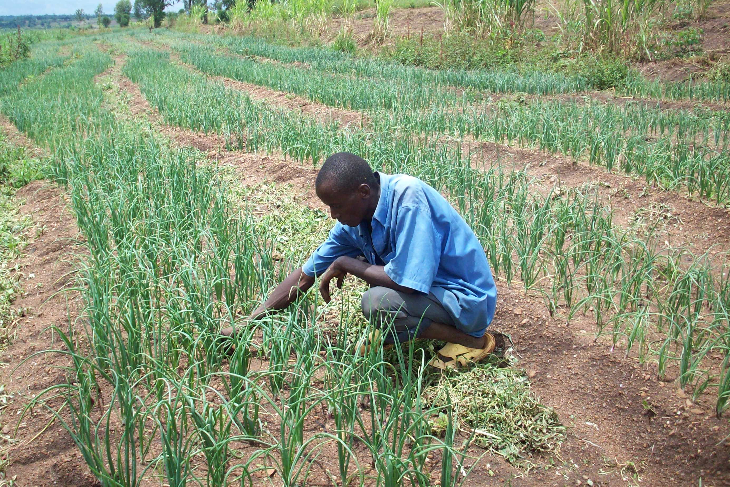 In response to failed harvests resulting from low rainfall, farmers in Burundi's Kirundo province have been diversifying their crops – growing onions like these, for example – and planting on the shores of lakes